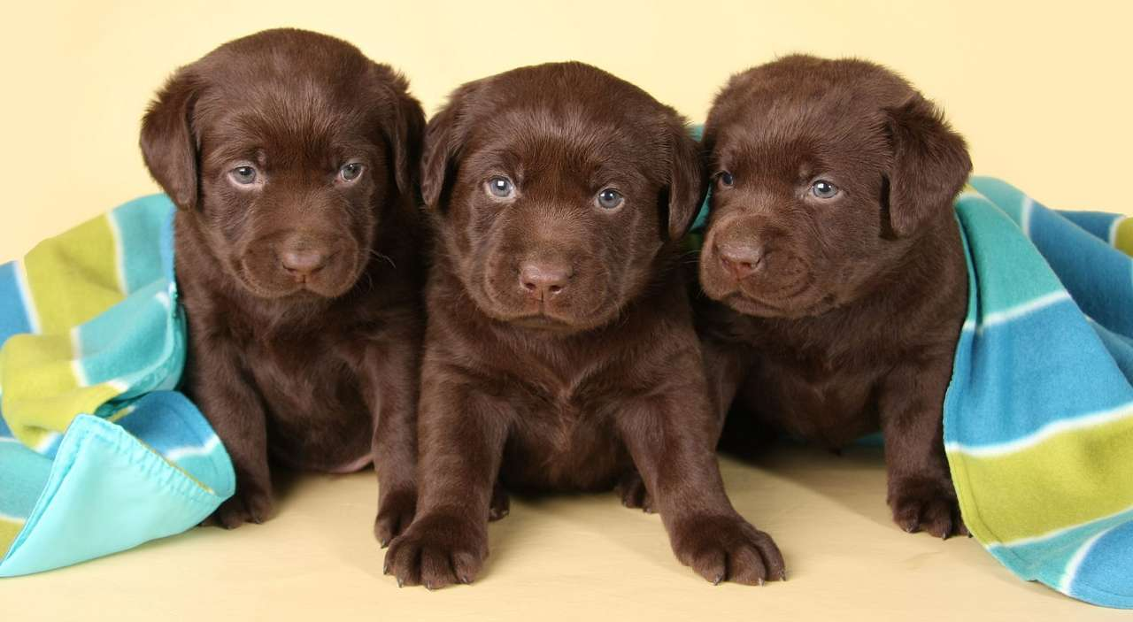 Three puppies of chocolate Labrador Retriever - Labrador is one of the most popular dog breeds in the world. It is highly respected not only among breeders, but also among those who are looking for a family pet or companion dog. Labradors were orig (11×6)