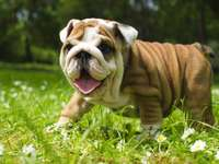 Cachorrinho bulldog fofo