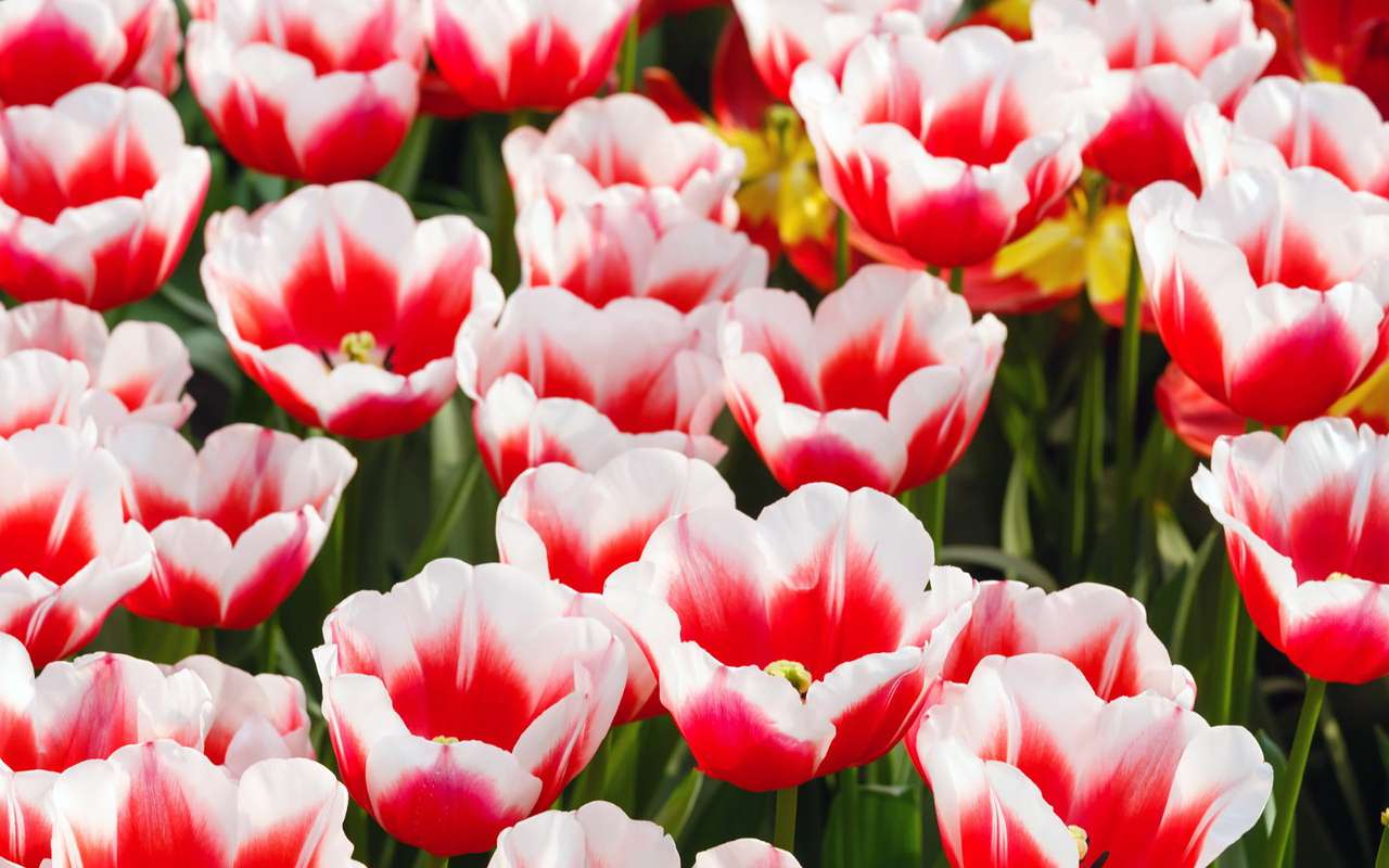 White-red tulips - Tulips are a popular genus of bulbous plants. They come in many varieties that differ primarily in shape and color of petals, among which pistils and stamen are situated. The newly grown flowers are o (9×6)