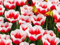 White-red tulips