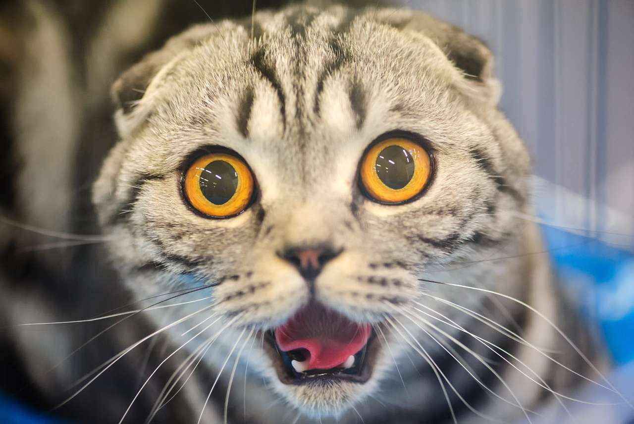 Cat with a funny face - Animals often become the object of comedy and provide people watching them with a lot of joy. It happens especially when their behavior resembles people, which creates a playful contrast between their (10×7)