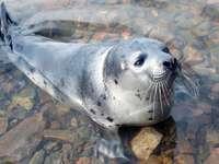 Giovane foca nel Golfo di Kandalaksha (Russia)