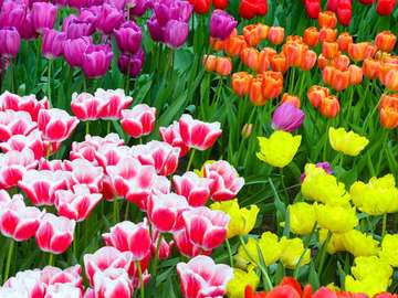 Colorful tulips