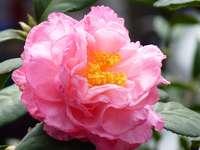 Květ kamélie