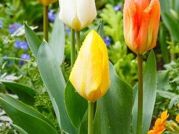 Multi-colored garden tulips