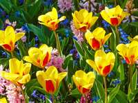 Yellow and red tulips and hyacinths