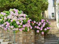 Pink flowers of hortensia