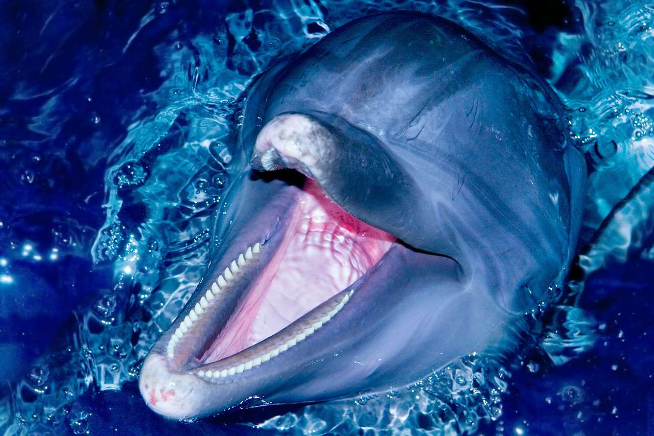 Common bottlenose dolphin sticking its head out of the water - Bottlenose is the most common and widespread species of dolphin in the world. Comparing with the entire whale family, it is an exceptional creature because it is the only one able to adapt to human ac (10×6)