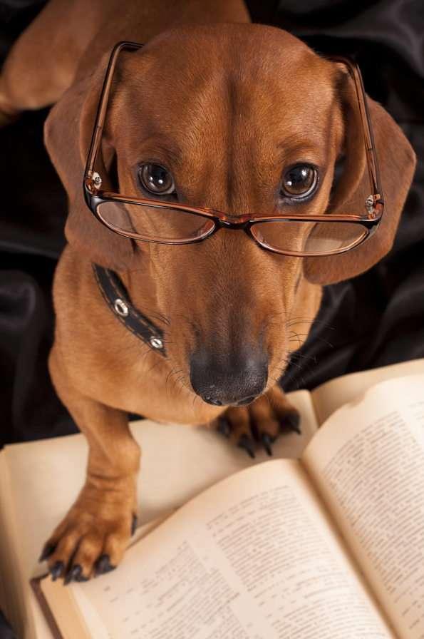 Smart dachshund