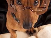 Έξυπνο είδος γερμανικού κυνηγετικού σκύλου