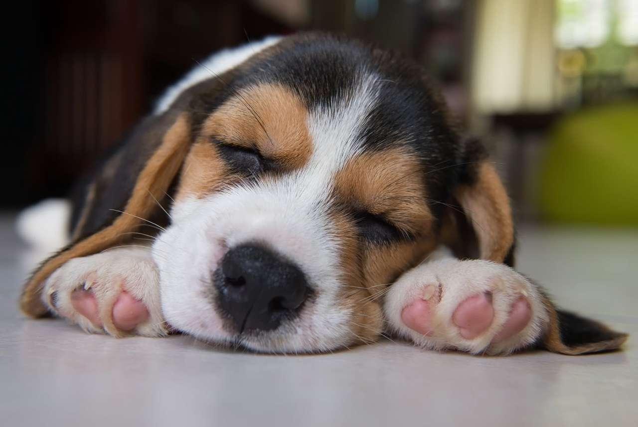 Sleeping beagle puppy