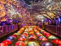 Cerises en fleurs à Jinhae (Corée du Sud)
