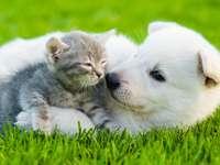Ελβετικός Ποιμενικός με μια μικρή γάτα