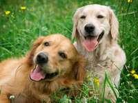 Psi na louce