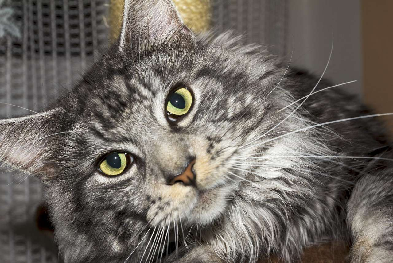 Maine Coon cat - Maine Coon is a cat breed originating from North America, distinguished primarily by its long, two-layer coat and the large size of the animal. Male individuals can weigh even more than ten kilograms (7×5)