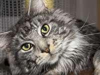 Pisică Maine Coon