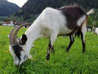 Goat on an alpine meadow