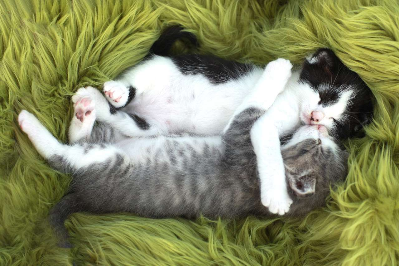 Two kittens - Kittens hugging each other are one of the most tender views for lovers of these furry creatures. However, it should be remembered that not all cats manage to accept the company of other pets, especial (5×4)