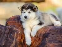 Аляскински маламут кученце