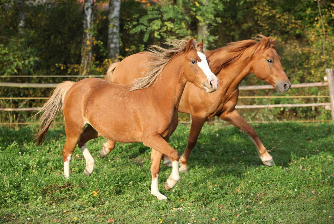 Horses in the pasture - Formerly, herds of horses grazed on vast steppe spaces, which provided them with the right dose of movement and fresh air. Also today, owners of studs, equestrian clubs and private breeders are oblige (7×5)