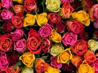 Colorful rose flowers