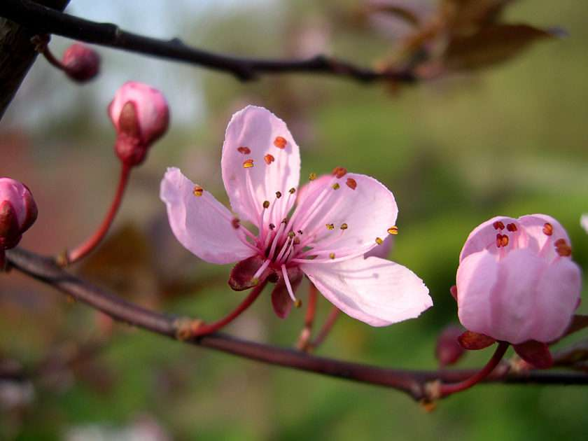 kirsebærblomster online puzzle