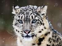 leopard de zăpadă