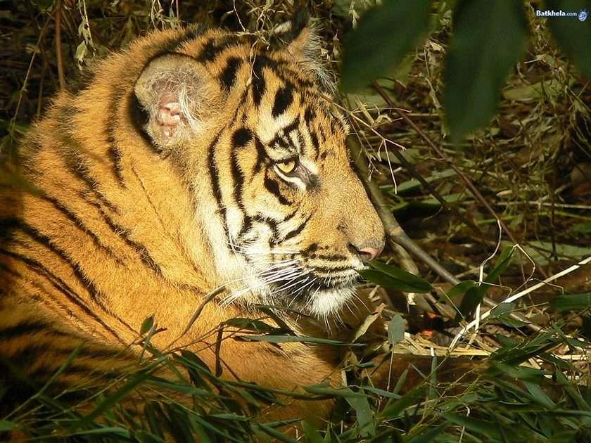 100 Punkte für das beste Ergebnis - Tiger (8×6)