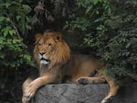 The lion in the Warsaw zoo