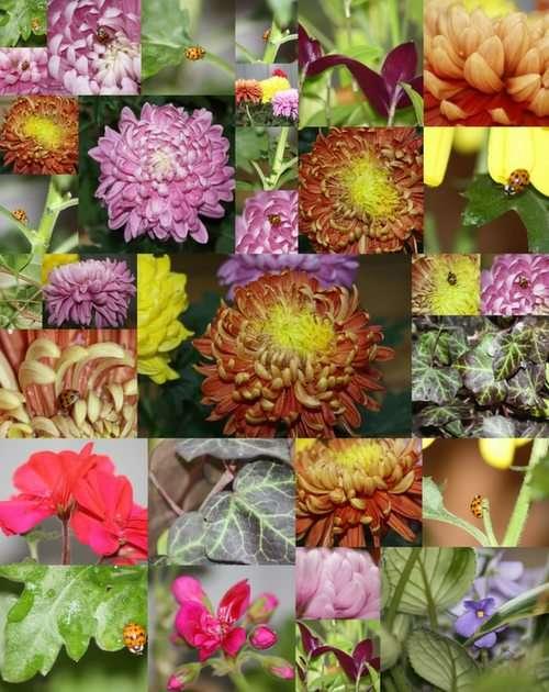 Crisantemos - collage
