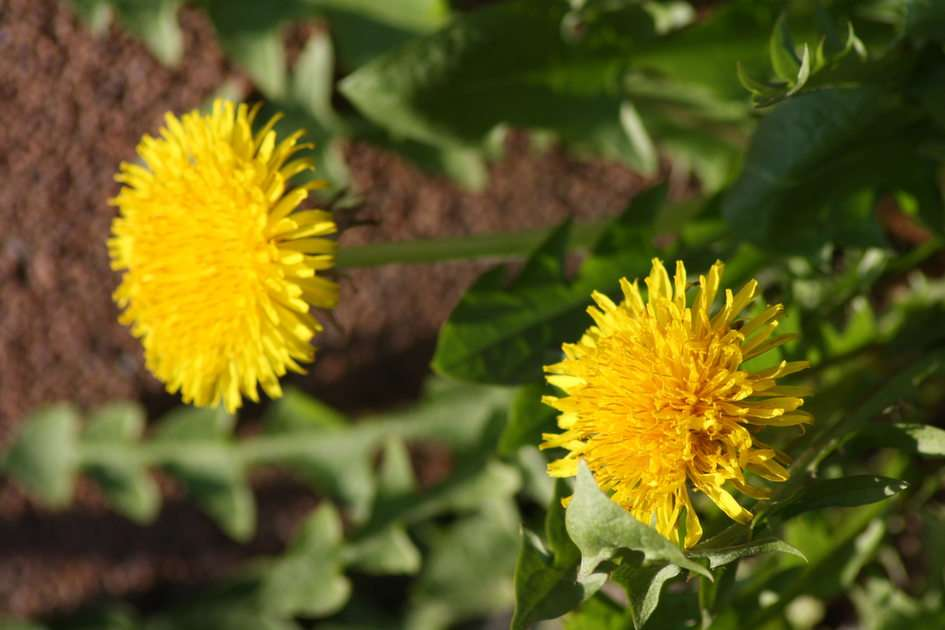 the first dandelions this year