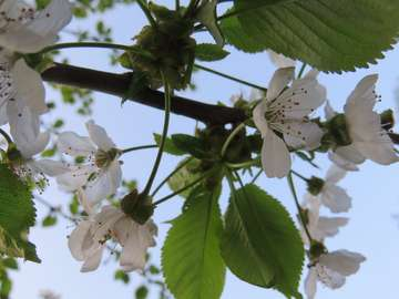 Άνθη κερασιάς