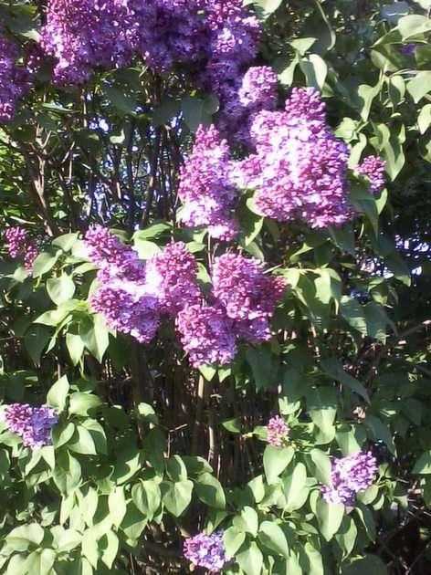 Lilases perfumados