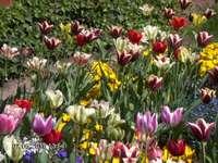 Tulipany na Wawelu.