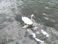 een zwaan met een peuter