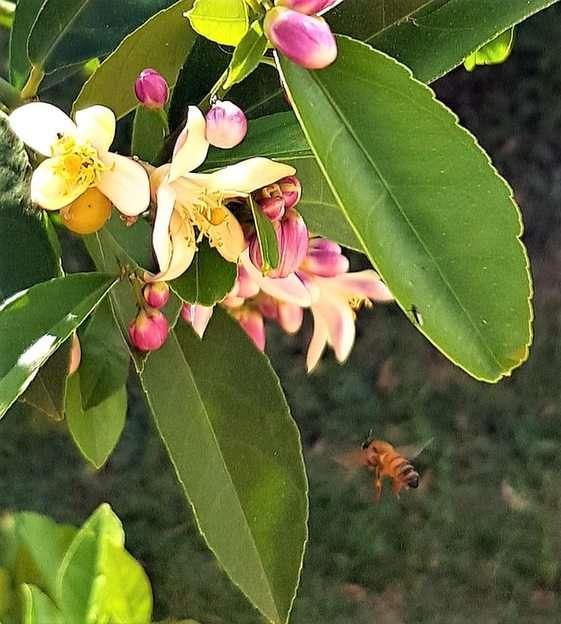 Včelí a citronové květy