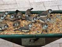 Finches By The Dozen