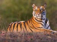 Tiger NEW