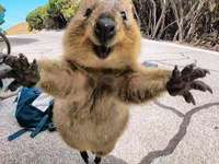 quokka - animale australiano