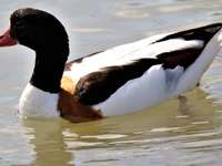 Shelduck swimming