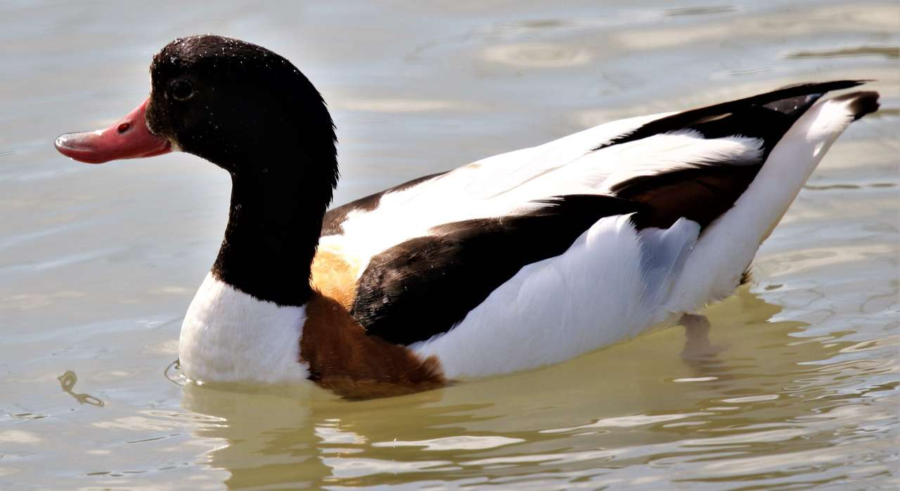 Shelduck swimming - In the wild Shelduck may use holes and burrows created by other animals to build their nest. Males and females look alike, but the female is generally duller. Additionally, the breeding male develops (7×4)