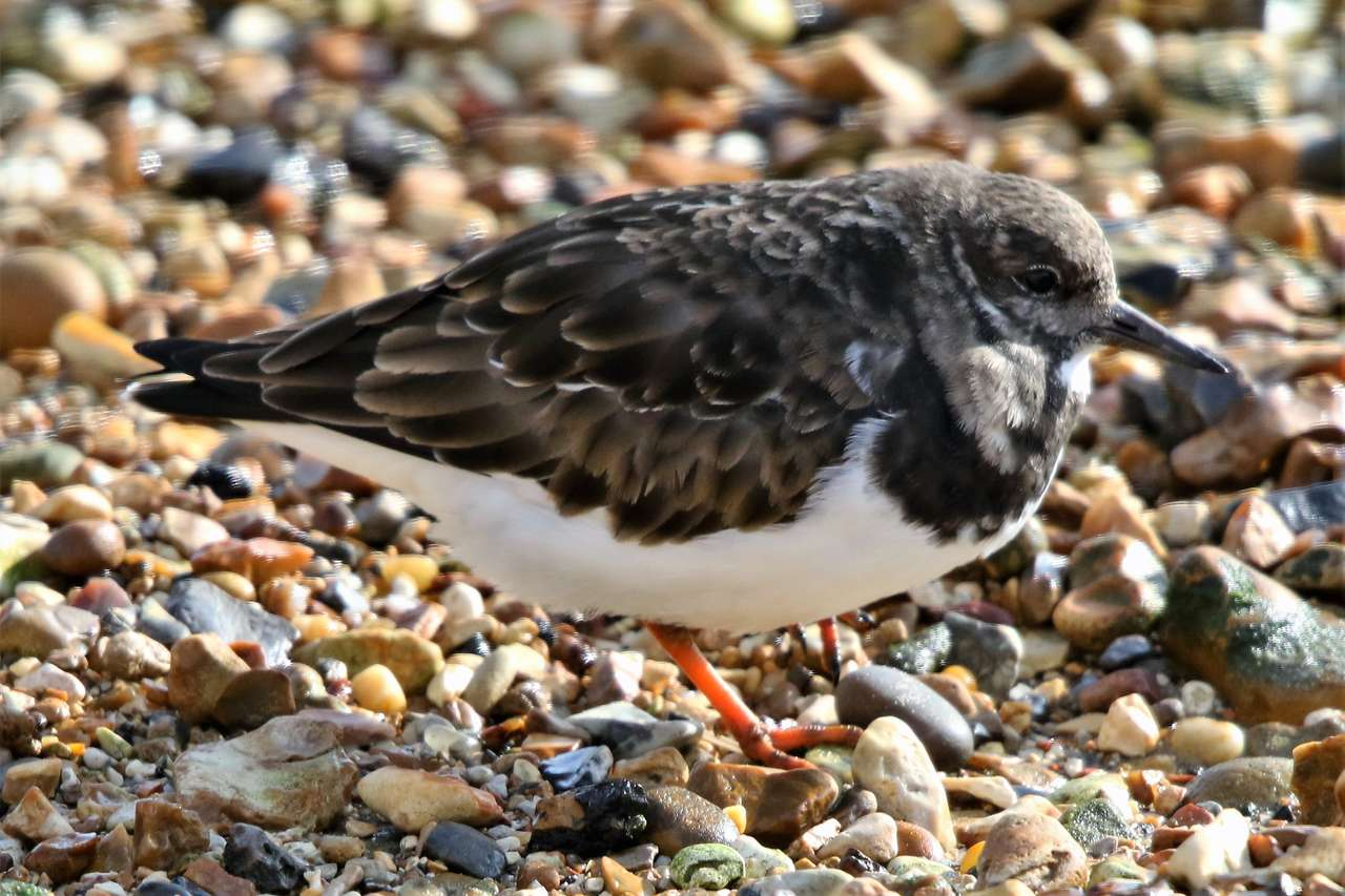 Turnstone - Turnstones are waders, wading in shallow waters. They gained the name Turnstone from their habit of turning over stones and seaweed in their search for invertebrates. To find out more about Turnstones (5×4)