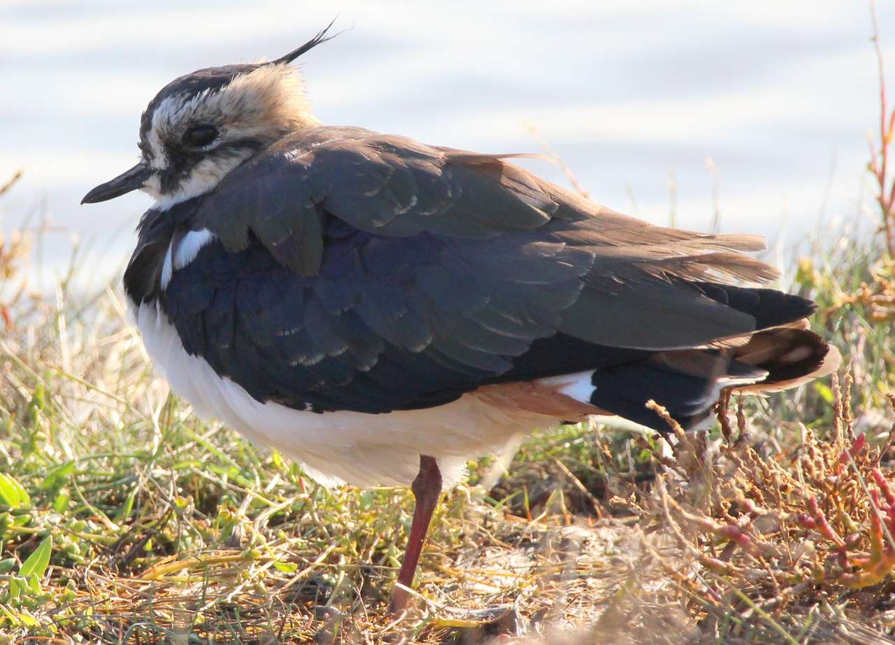 """Lapwing resting - Lapwings are also known as """"peewits"""" due to characteristic high-pitched calls """"pee-wit"""" which males produce during the mating season. Lapwings also communicate via squeaks and crying sounds. Lapwings (5×4)"""