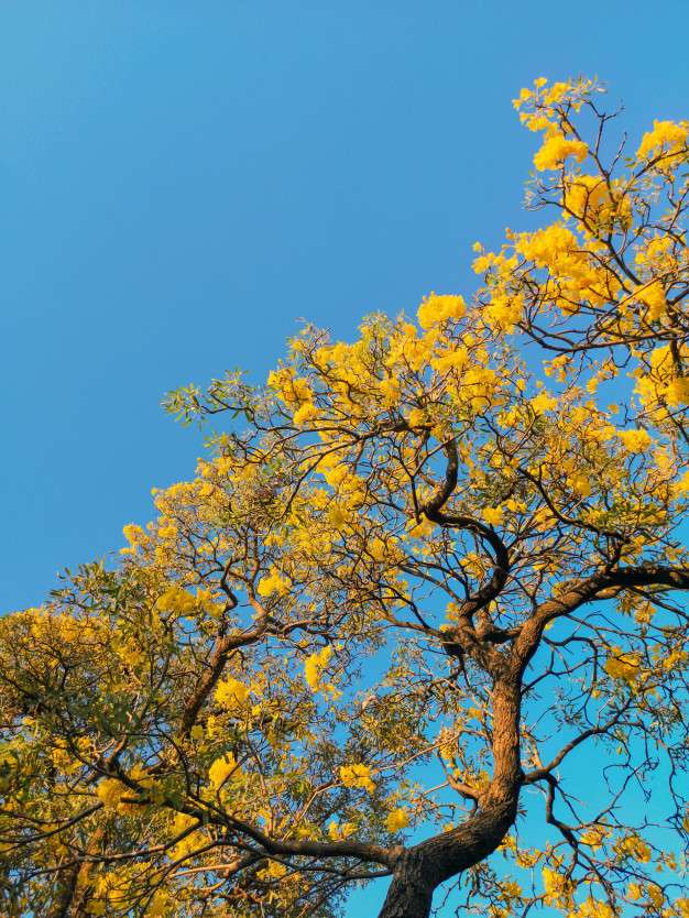Lucky tree - This picture shows a beautiful yellow tree (9×13)