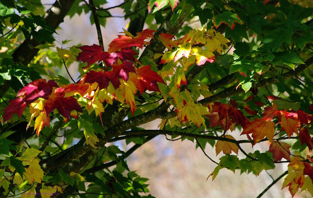 Autumn Arrives - The first branch to start changing its colours (20×13)