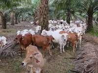 Puzzle di mucca