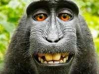 Gorilla Dahora legale