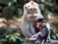Семейство маймуни