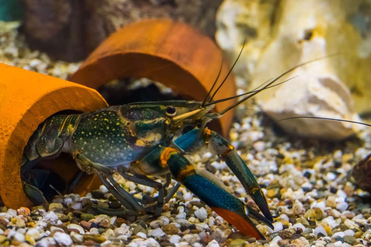Crustacé australien