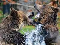 Bären aus der Podlasie.